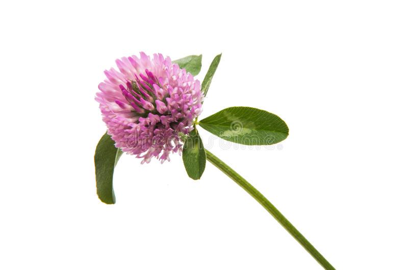 Red Clover (Trifolium pratense) isolated. On white background stock image