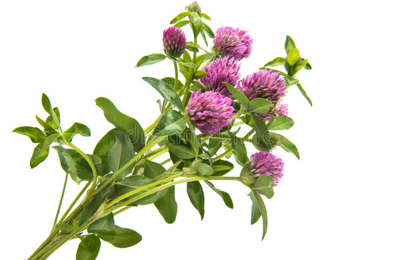 Red Clover (Trifolium pratense) isolated. On white background stock images