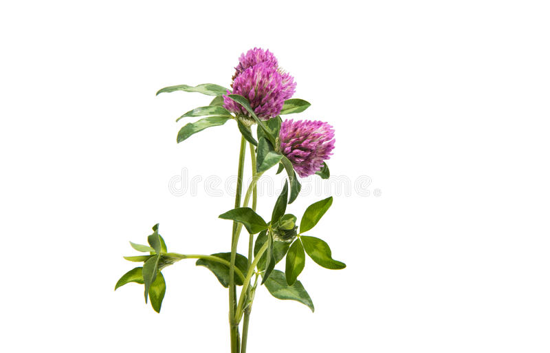 Red Clover Trifolium pratense. Isolated on white background royalty free stock image
