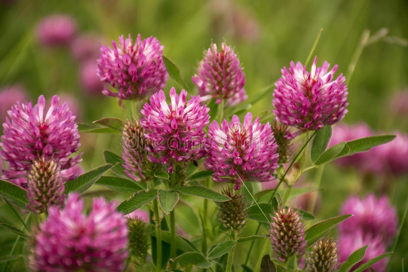 Red Clover or Trifolium Pratense. In the meadow. Bee plant. It is used as a green manure crop royalty free stock images