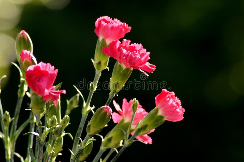 Red cloves Dianthus in sunlight. Springtime in the Nature outdoors stock photo