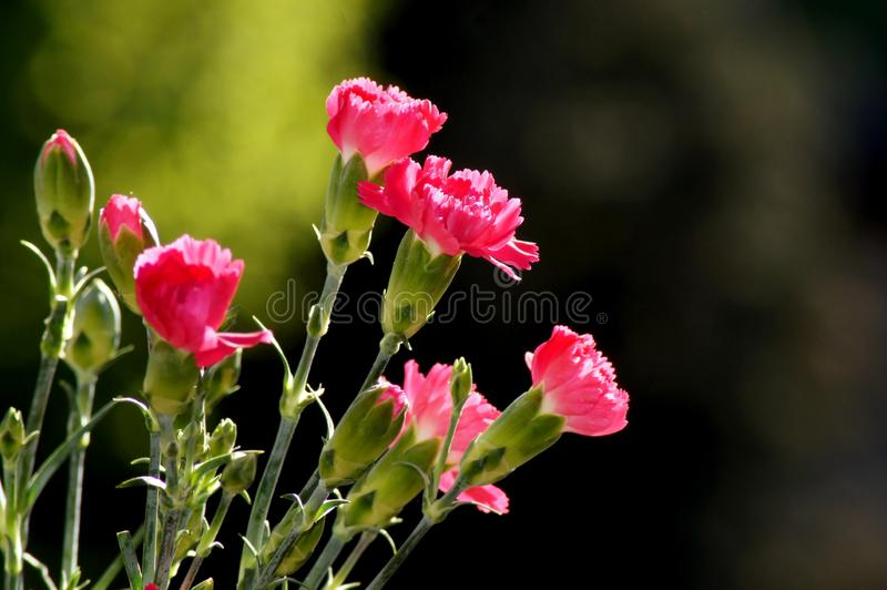 Red cloves Dianthus in sunlight. Springtime in the Nature outdoors stock image