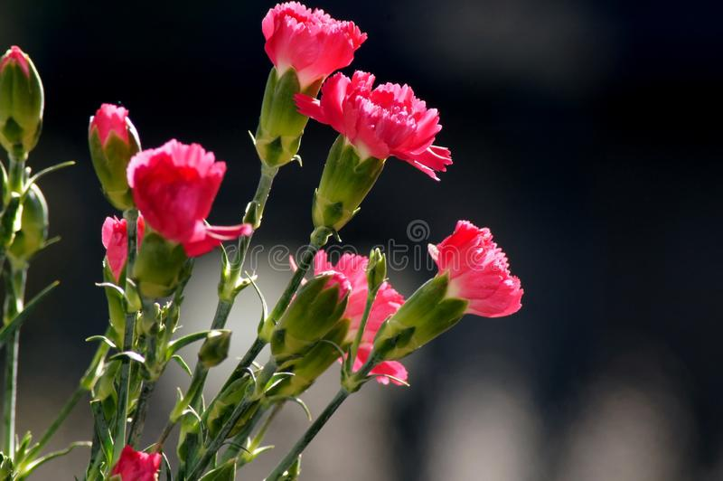 Red cloves Dianthus in sunlight. Springtime in the Nature outdoors stock photos