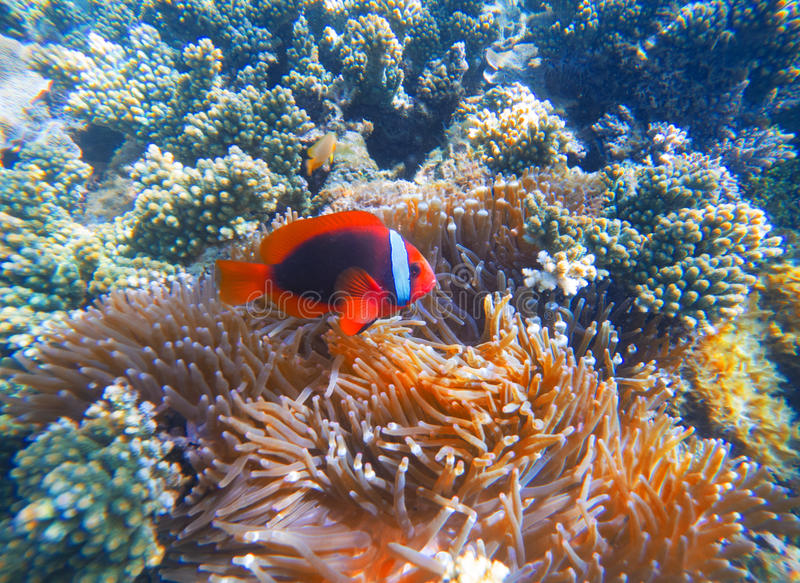 Red clown fish in actinia closeup photo. Clownfish in coral reef. Underwater photo with tropical coral fishes. Sea bottom scene with marine animals. Diving or stock image