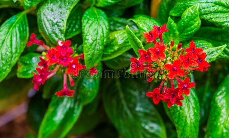 Red clustered flowers in macro closeup of a pentas plant, tropical flowering plants, nature background stock photos