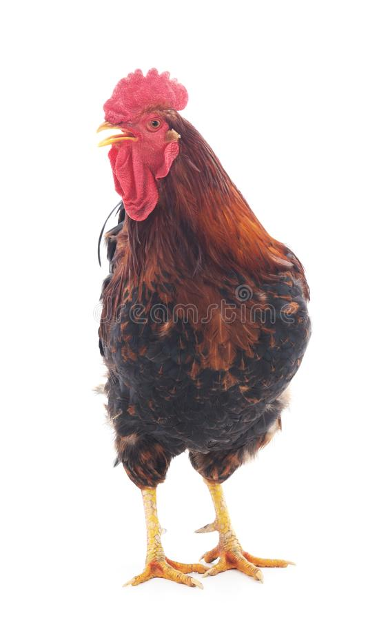 Ont red cock. Red on a white background royalty free stock photography