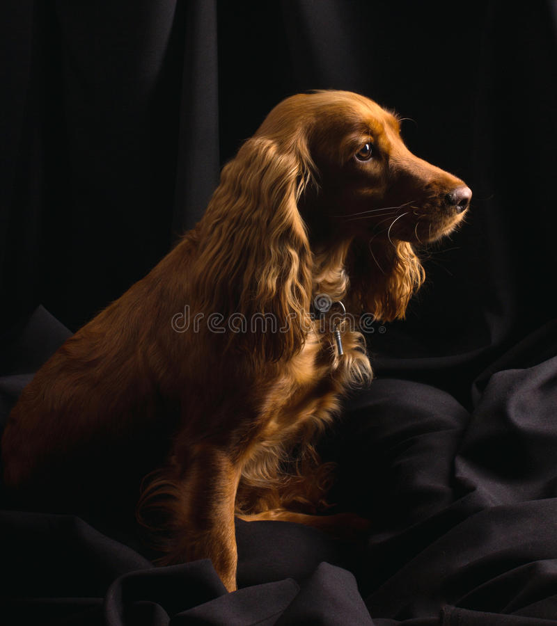 Red cocker spaniel on black background. Red cocker spaniel is sitting on black textile background stock photo