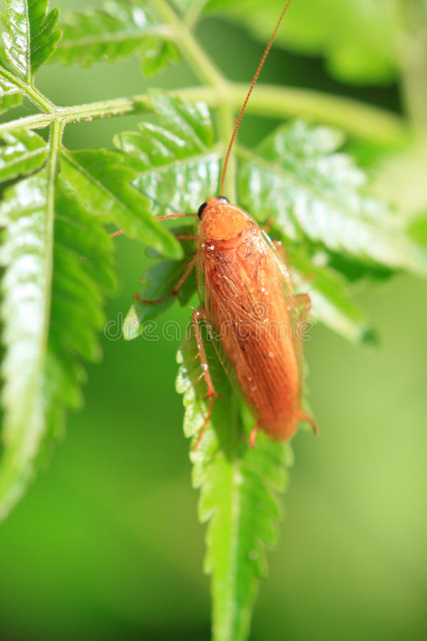 Red cockroach. Sticking to leaf in garden royalty free stock photo