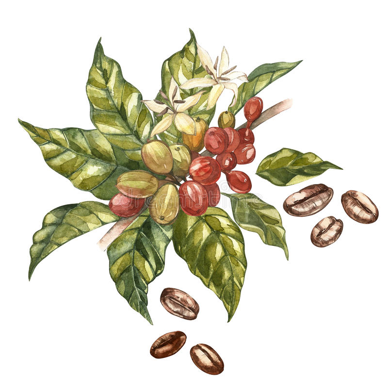 Red coffee arabica beans on branch with flowers isolated, watercolor illustration. royalty free illustration