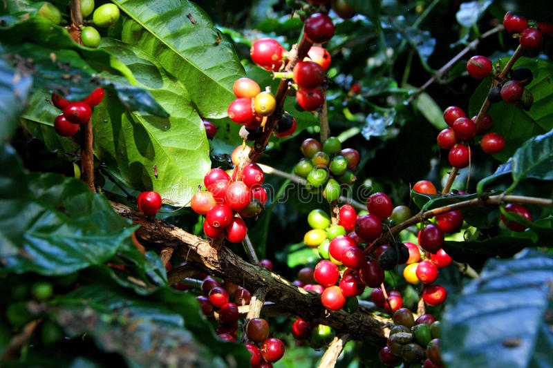 Red coffee bean.