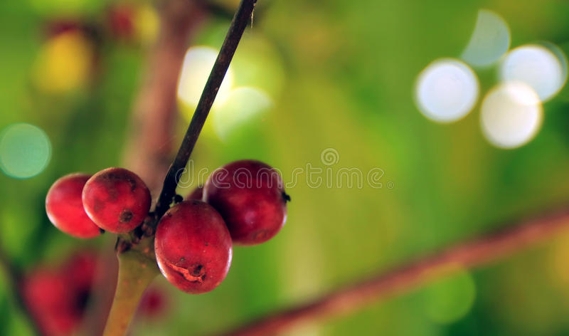 Red coffee bean stock image