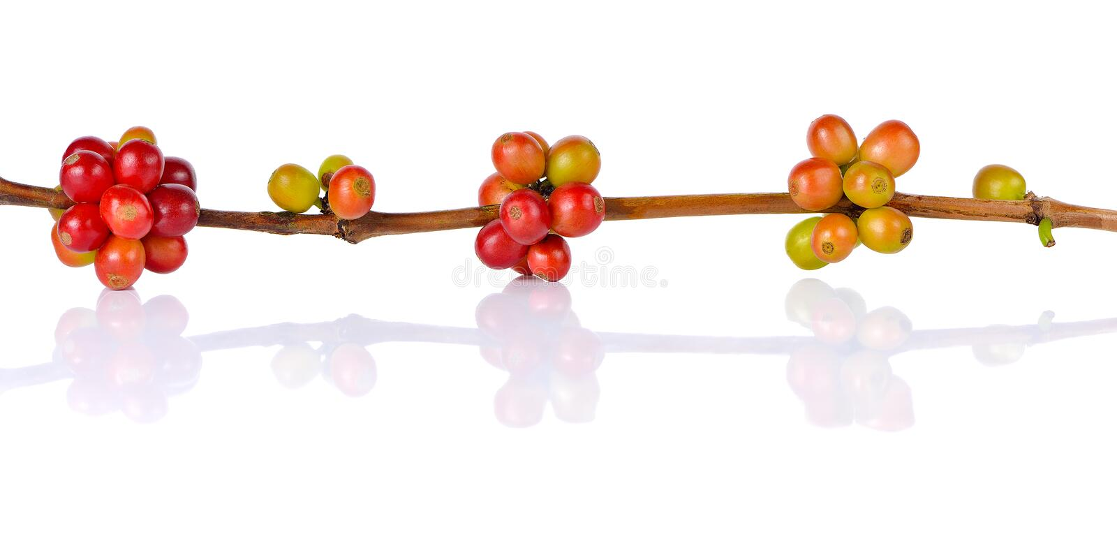 Red coffee beans on a branch of coffee tree on white background royalty free stock photos