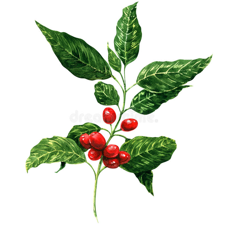Red coffee beans on branch, isolated, white stock illustration