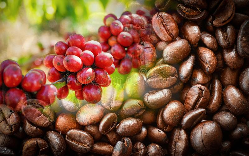 Red Coffee beans on branch tree and roasted coffee bean texture background. Red Coffee beans on a branch tree and roasted coffee bean texture background royalty free stock photography