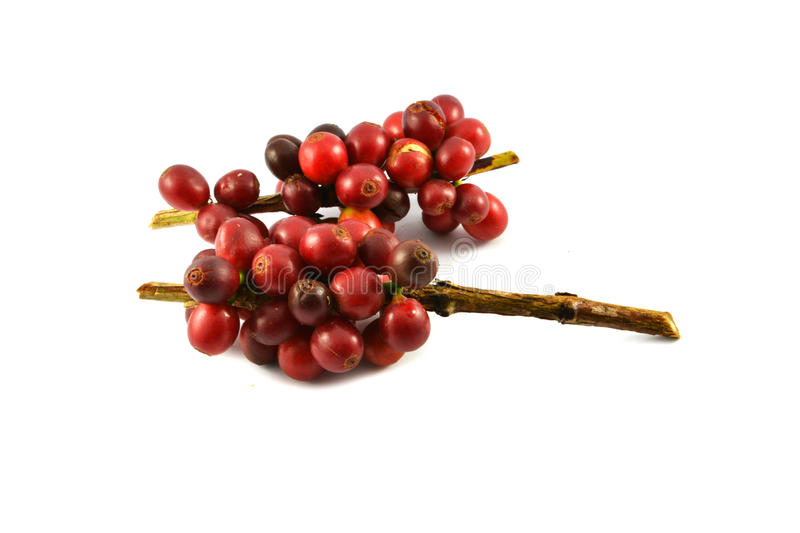 Red coffee beans. Red Fresh raw coffee beans on white background royalty free stock image