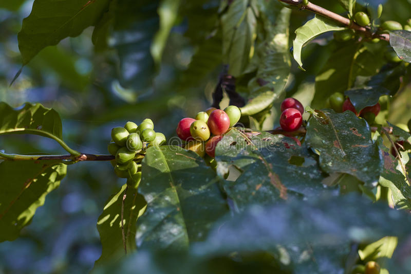 Red coffee cherry on branch.Coffee beans. stock images