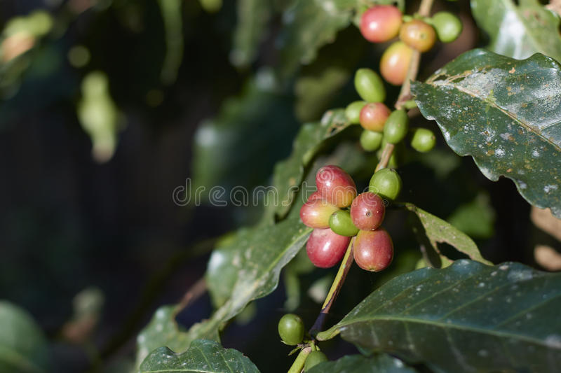 Red coffee cherry on branch.Coffee beans. stock image