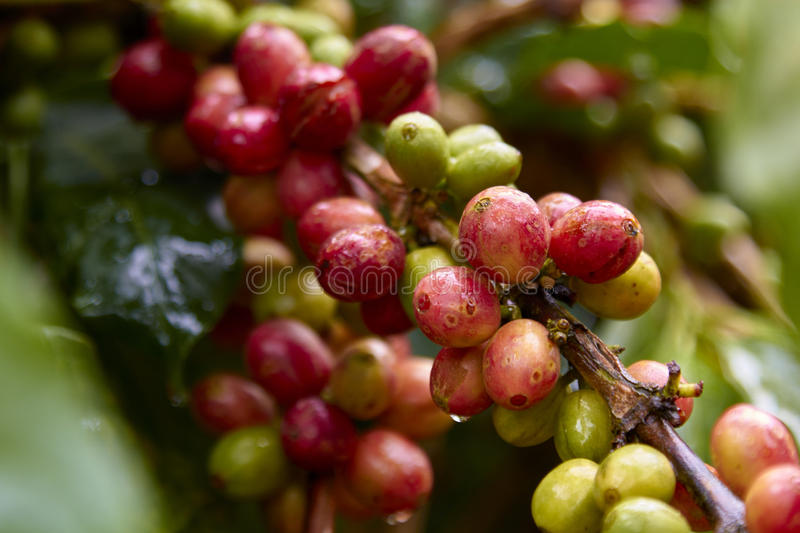 Red coffee cherry on branch.Coffee beans. stock photo