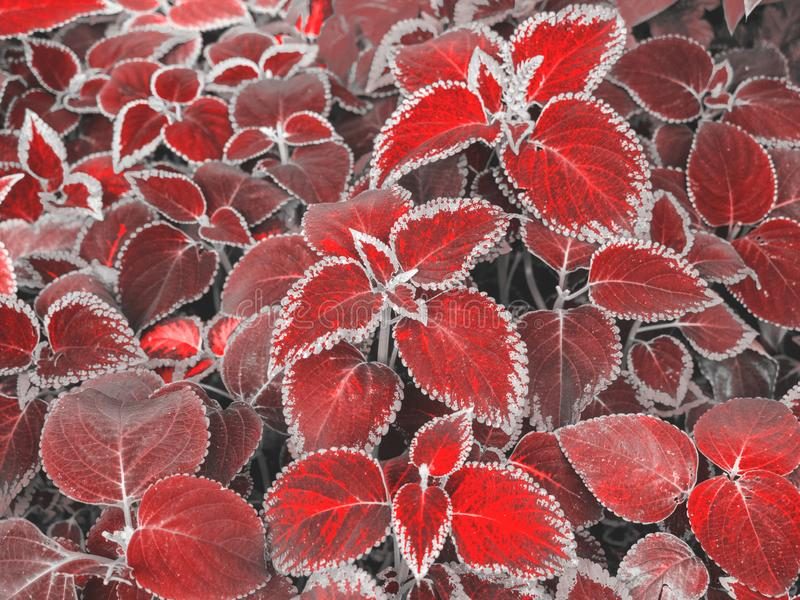 Red Coleus leaves in summer garden. Perennial natural plant background. Top view stock images