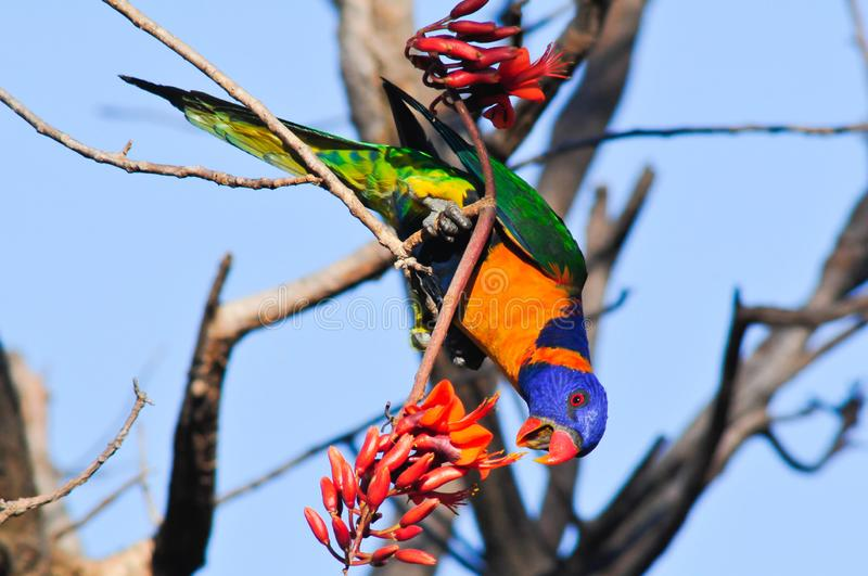 Red-collared lorikeet stock photography