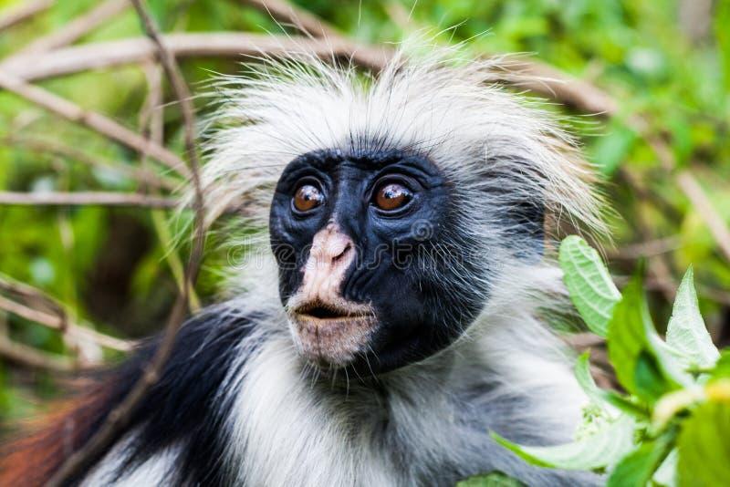 Red Colobus Monkey stock image