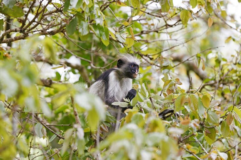 Red colobus monkey in Jozani Forest, Zanzibar, Tanzania stock images