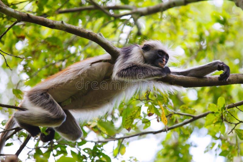 Red colobus monkey sleeping stock photography