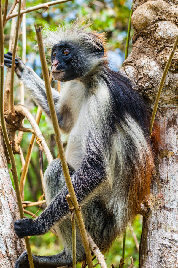 Red Colobus Monkey in tree royalty free stock photos