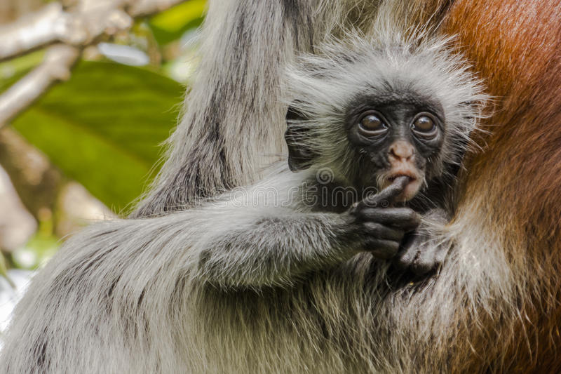 Red Colobus monkey , Zanzibar. Adult male Zanzibar Red Colobus monkeys boast an outstanding cover of thick black and reddish fur and amazing long white hair on stock images