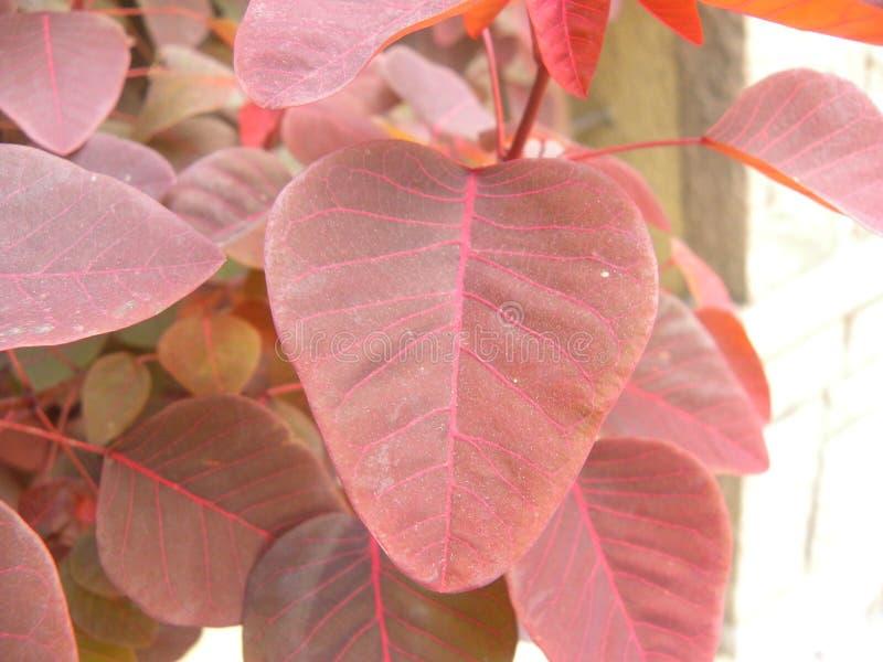 Red color leaf of tropical Smoke bush plant. Close up of red, pink color leaf of tropical Smoke bush plant or Euphorbia cotinifolia or Smoke tree spurge or royalty free stock photo