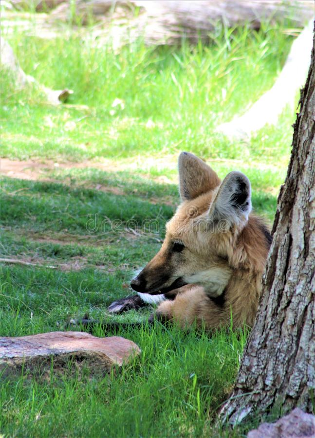 Maned Wolf, Phoenix Zoo, Arizona Center for Nature Conservation, Phoenix, Arizona, United States. Red colored Maned Wolf, located at the Phoenix Zoo, Arizona stock photos