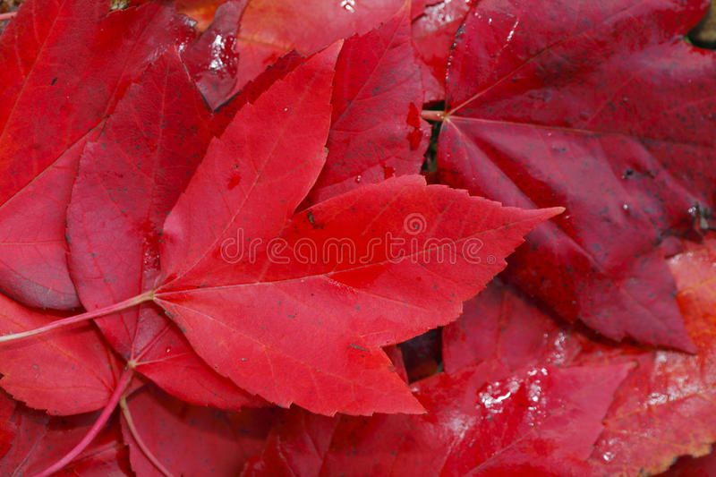 Red colored maple leaf. Red colored maple leaves in autumn royalty free stock photography