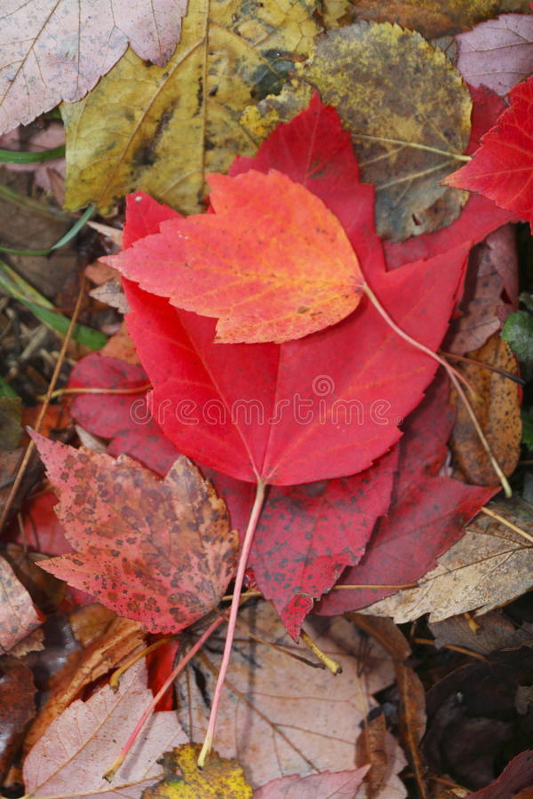Red colored maple leaf. Red colored maple leaves in autumn royalty free stock photo