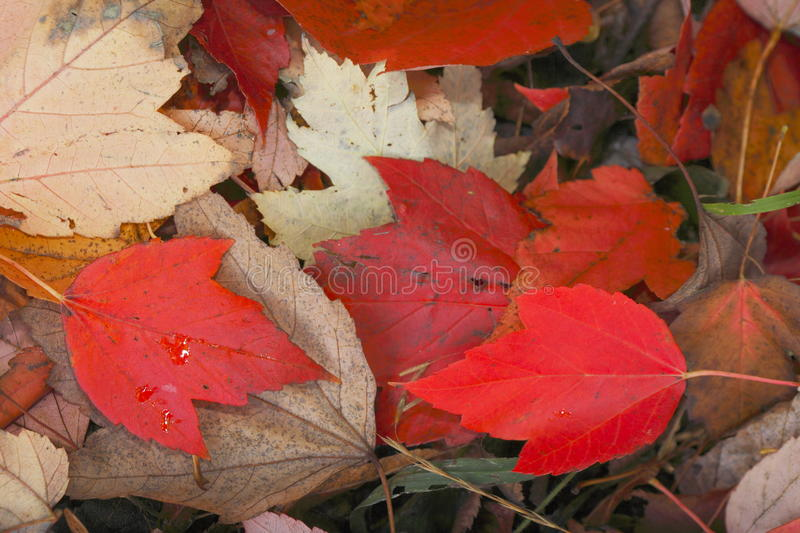 Red colored maple leaf. Red colored maple leaves in autumn royalty free stock photos