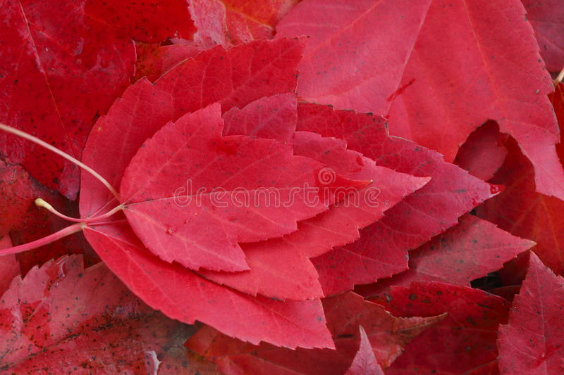Red colored maple leaf. Red colored maple leaves in autumn stock photos