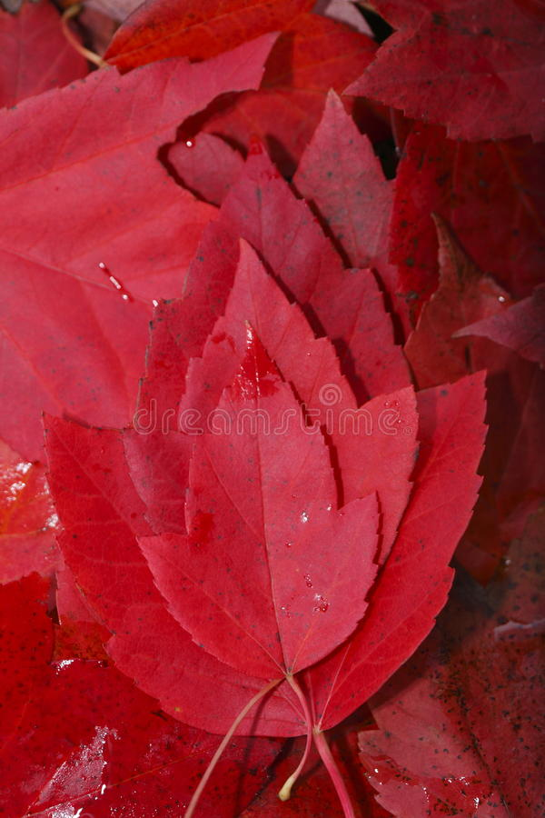 Red colored maple leaf. Red colored maple leaves in autumn royalty free stock images