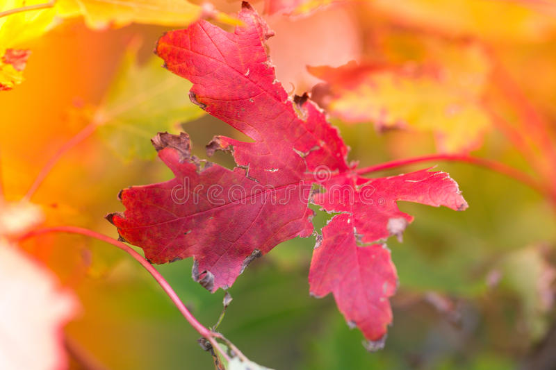Red Colorful Autumn Leave stock photo