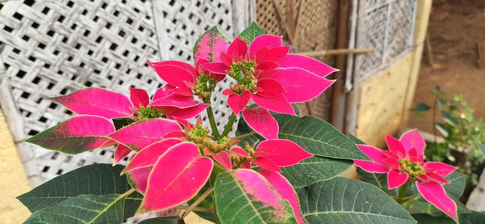 Red colour flower blooming in the garden it so beautiful to see royalty free stock photography