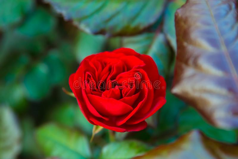 Red Rose Closeup image with Leafs royalty free stock photo