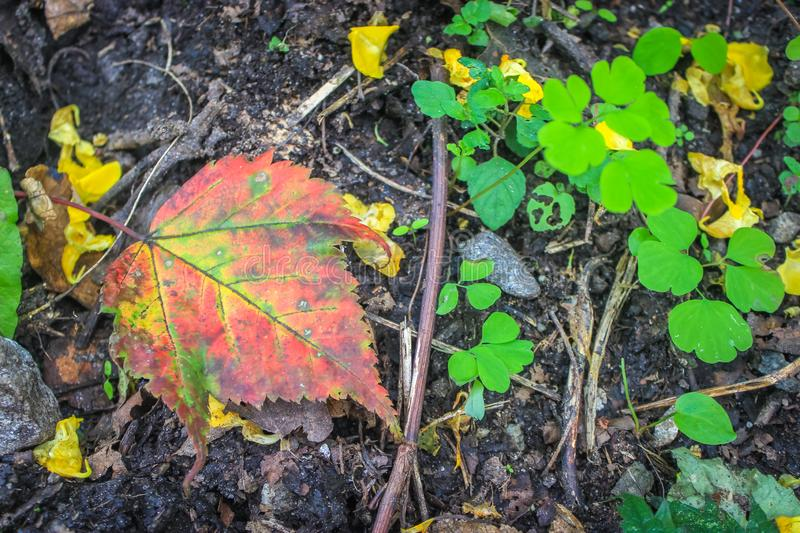 Red coloured autumn leaves of Maple tree fallen on ground with bright lemon green spring leaves foliage on black earth stock photos