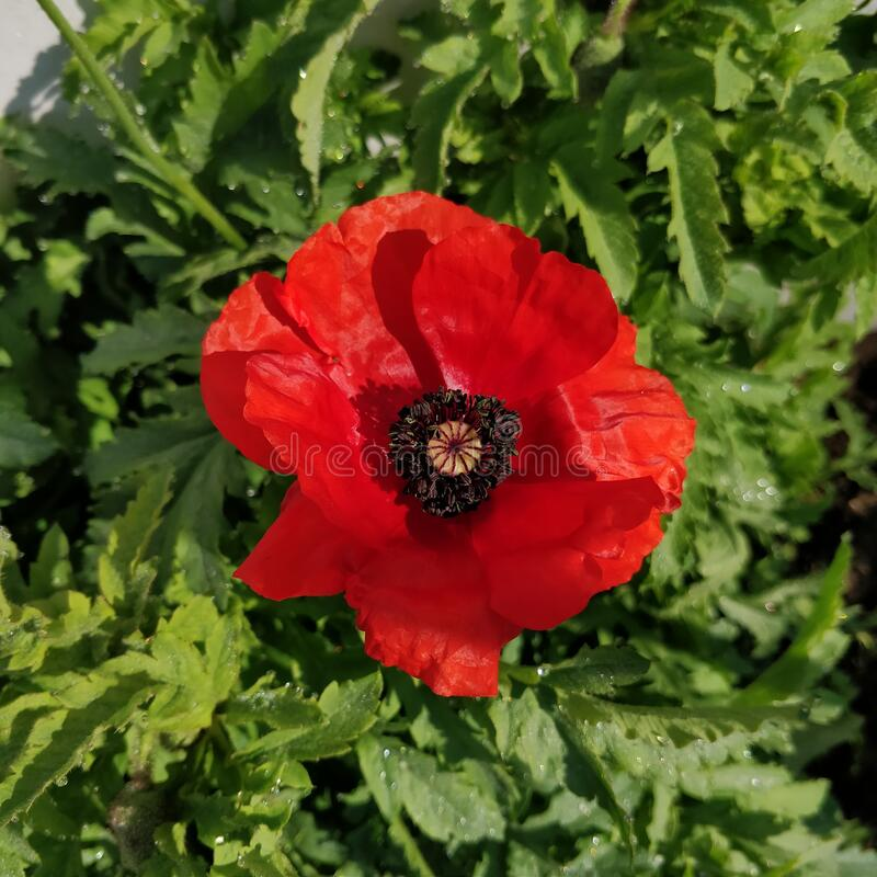Red coloured garden poppy flower and bud in my garden with the leaves of the plant is covered with dew drops. Red coloured garden poppy flower in my garden stock photos