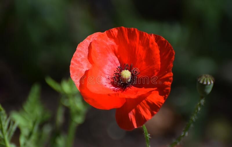 Red Common Field Poppy Flower stock photos