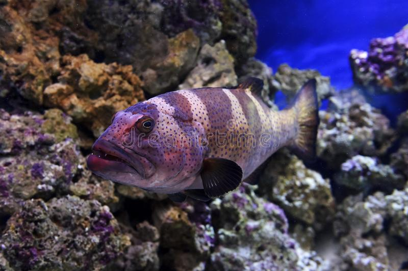 Red grouper fish stock image