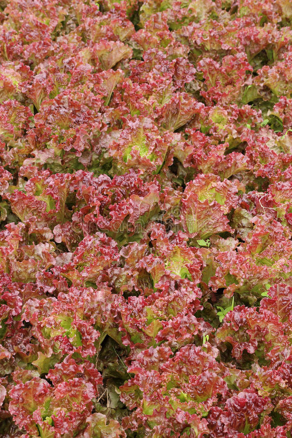 Red coral lettuce. Vegetable in farm stock photos