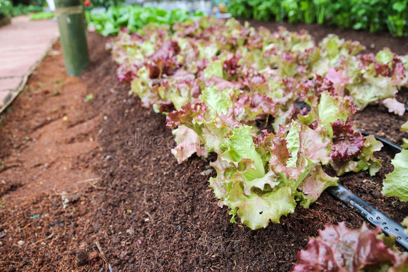 Red coral lettuce in the farm. Red coral lettuce growing in organic farm royalty free stock image
