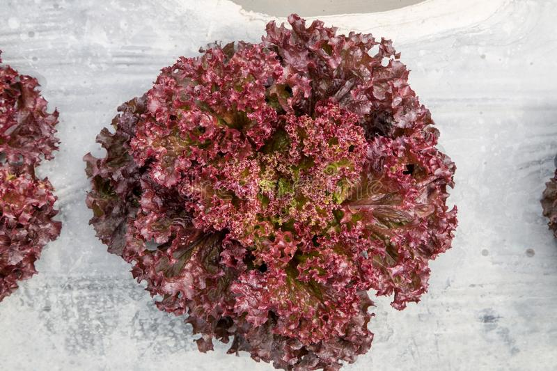 Red coral lettuce in the field. Ready to havest stock images