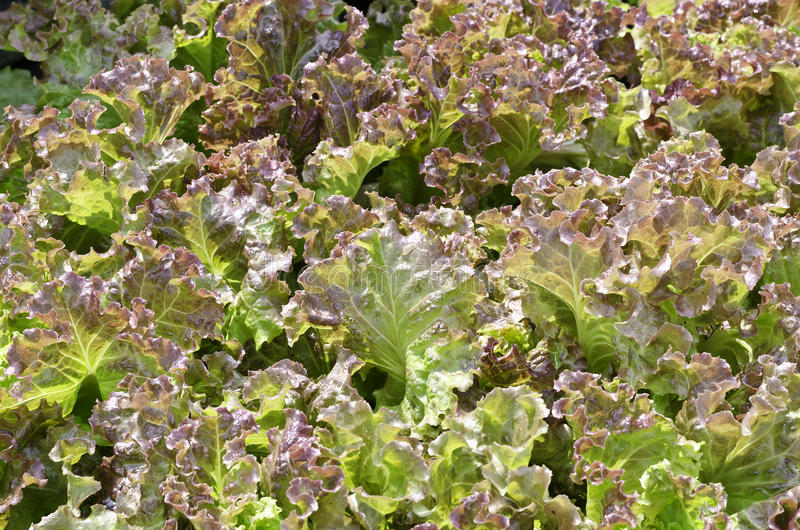 Red coral lettuce. Fresh red coral lettuce leaf stock photos