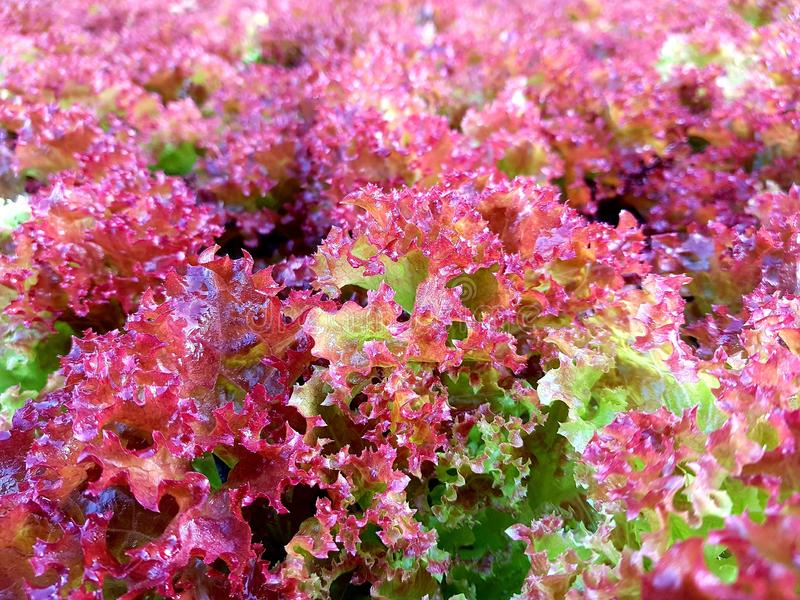 Red coral lettuce organic vegetables for health. Red coral lettuce fresh organic vegetables on farm for cooking food royalty free stock photos