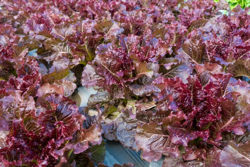 Red Coral Lettuce. In the garden stock photos
