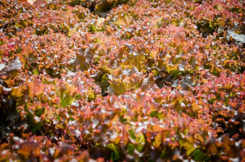 Red-coral lettuce. Garden under sunlight stock photos